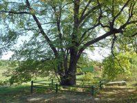 сросшиеся дуб и липа