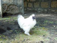 необычная курица