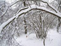 ветки согнулись под тяжестью снега