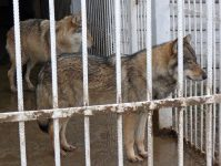 волки за решеткой