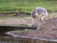 страус пьет воду