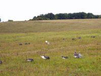 цесарки в поле